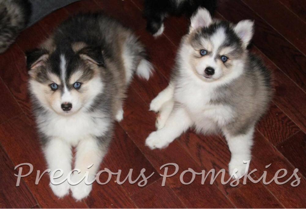 Precious Pomskies